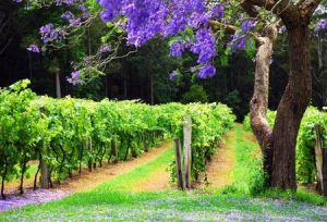 Bago Vineyards - Accommodation Fremantle