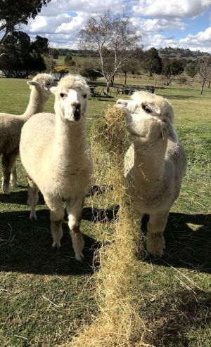 Clearview Alpacas - Accommodation Fremantle