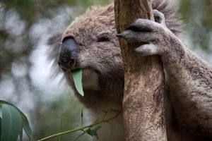 Phillip Island Koala Conservation Centre Entry ticket - Accommodation Fremantle